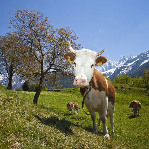 Bergell, Via Bregaglia, Kühe in Soglio - Foto: Bregaglia Engadin Turismo