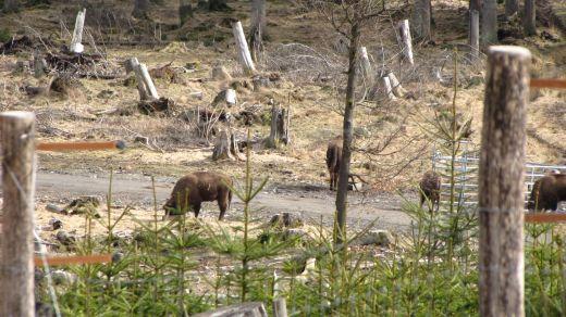 Wandern in der Wisent Wildnis – Frei lebende Wisente im Rothaargebirge